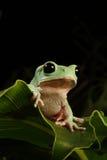 Baum-Frosch