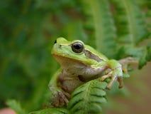 Baum-Frosch Lizenzfreie Stockbilder