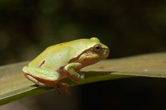 Baum-Frosch auf dem Blatt Stockbilder