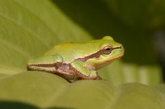 Baum-Frosch auf dem Hosta-Blatt Stockfotos