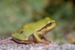 Baum-Frosch auf dem Stein Lizenzfreie Stockfotos