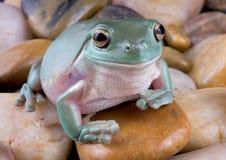 Baum-Frosch auf Flussfelsen Stockbild