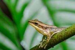 Baum-Frosch auf tropischem Wald Stockfotos