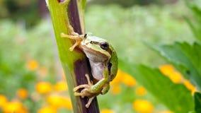 Baum-Frosch auf Zweig Stockbild