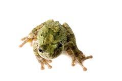 Baum-Frosch, der oben schaut Lizenzfreies Stockbild