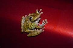 Baum-Frosch, der Sie betrachtet Lizenzfreie Stockfotografie
