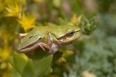 Baum-Frosch und Sedum Blumen Stockfotografie