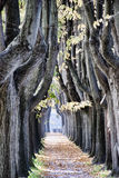 Baum-Gasse in Lucca Lizenzfreies Stockfoto
