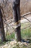Baum an gekaut durch Biber Lizenzfreies Stockfoto