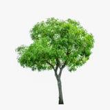 Baum getrennt Lizenzfreie Stockbilder