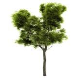 Baum getrennt auf einem Weiß Lizenzfreies Stockbild