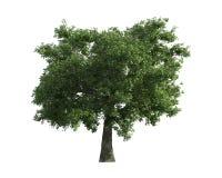 Baum getrennt auf einem weißen Hintergrund Lizenzfreies Stockfoto