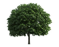 Baum getrennt auf einem weißen Hintergrund Lizenzfreie Stockfotos
