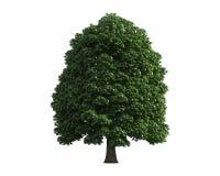 Baum getrennt auf einem weißen Hintergrund Stockfotografie