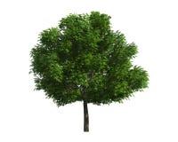 Baum getrennt auf einem weißen Hintergrund Lizenzfreie Stockbilder