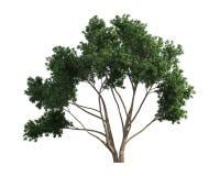 Baum getrennt auf einem weißen Hintergrund Stockfoto