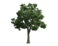 Baum getrennt auf einem weißen Hintergrund Stockbild