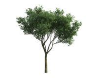 Baum getrennt auf einem weißen Hintergrund Stockfotos