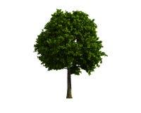 Baum getrennt auf einem weißen Hintergrund Lizenzfreie Stockfotografie
