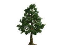 Baum getrennt auf einem weißen Hintergrund Lizenzfreies Stockbild