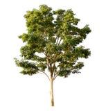 Baum getrennt auf Weiß lizenzfreies stockbild