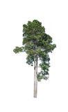 Baum getrennt auf weißem Hintergrund Stockfoto