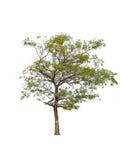 Baum getrennt auf weißem Hintergrund Stockfotografie