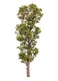 Baum getrennt auf weißem Hintergrund Stockbilder
