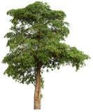 Baum getrennt auf wei?em Hintergrund lizenzfreie stockfotografie
