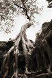 Baum gewachsen über Tempelwänden Ta-Prohm, V2 Stockfotos
