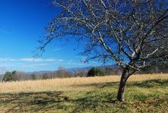 Baum, goldenes Feld und Kobalt-Himmel Stockfotografie