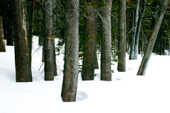 Baum Grove im Winter Lizenzfreies Stockfoto