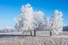 Baum Grove mit Frost Stockfoto