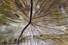 Baum hat einige große Knoten Stockfotografie