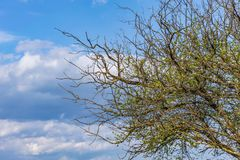Baum-Himmelwolken der trockenen Niederlassungen alte kranke Lizenzfreie Stockfotografie