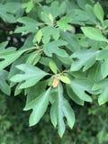 Baum-Identifizierung: Baum-Blatt der getrockneten Sassafraswurzel stockbilder
