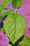Baum-Identifizierung: Zwei-gefl?geltes Silverbell-Baum-Blatt stockbild
