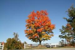 Baum im Falllaub Stockfoto