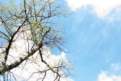 Baum im frühen Frühling Ansicht von unten Lizenzfreies Stockbild