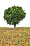 Baum im frühen Frühling, der alleine auf dem Gebiet steht Stockbilder