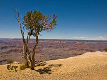 Baum im Grand Canyon Stockfotos