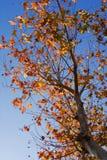 Baum im Herbst Lizenzfreie Stockfotografie