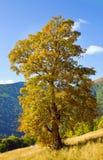 Baum im Herbstberg Stockbilder