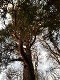 Baum im Kirchhof Boston Lincolnshire Lizenzfreies Stockfoto
