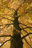 Baum im Mittefokus in der vollen goldenen Herbstfarbe stockbild