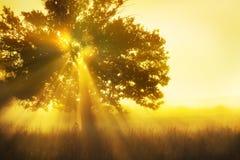 Baum im Nebel und in der Sonne Stockbilder