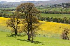 Baum im neuen Blatt, das ein Rapsfeld übersieht Stockbilder