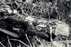 Baum im Sepia stockfoto