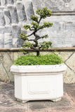 Baum im Topf auf Wandhintergrund Lizenzfreies Stockfoto