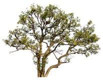 Baum im Wald lokalisiert. Stockfotografie
